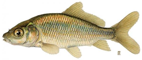common_carp