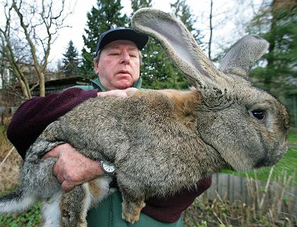 RabbitGiantGerman