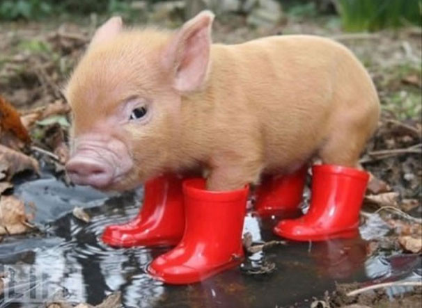 pigboots