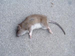 dead-rat