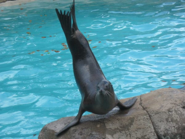 seal_performing_tricks